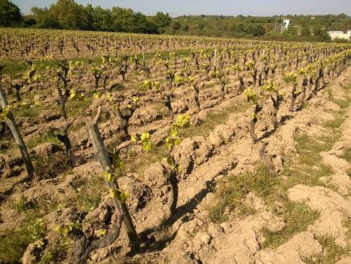 vignes-domaine-de-la-Bregeonnette-vallet-2