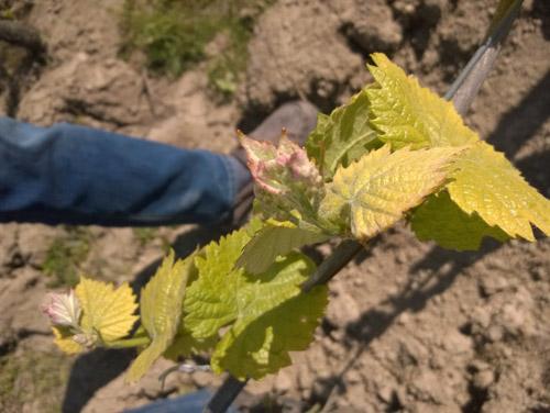 vignes-domaine-de-la-Bregeonnette-vallet